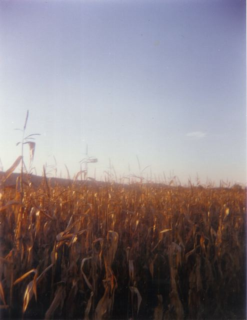 drycornfield