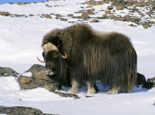 buffalo tibetan yak