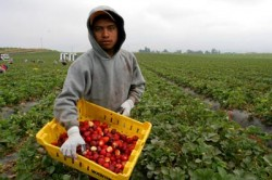 Migrant farm worker picking strawberries in California