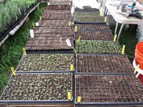 Early spring lettuces and tomato seedlings