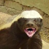 honey badger video