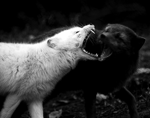 White wolf and black wolf fighting