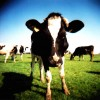 Cow by JelleS Flicker
