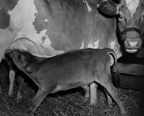 Calf nursing