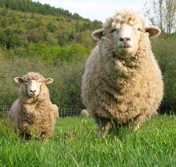 These sheep know what's up