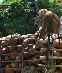 Coconuts on a truck overseen by a monkey