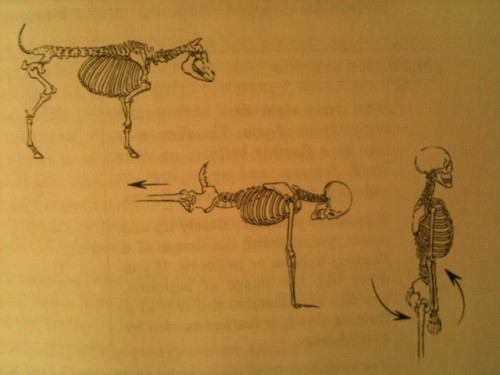 Evolution of the Human Pelvis.