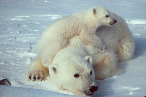 http://commons.wikimedia.org/wiki/File:Ursus_maritimus_Polar_bear_with_cub_2.jpg