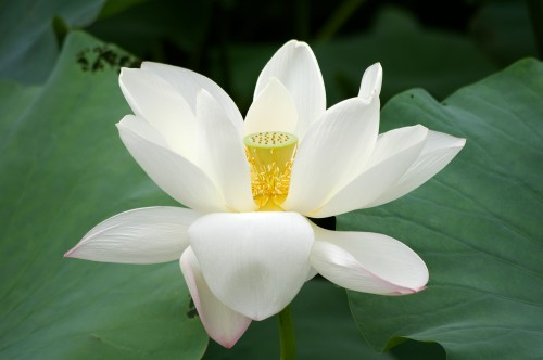 http://upload.wikimedia.org/wikipedia/commons/a/a9/20090809_Lotus_flower_2736.jpg