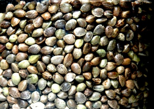 Hemp Seeds - Don't let them grow