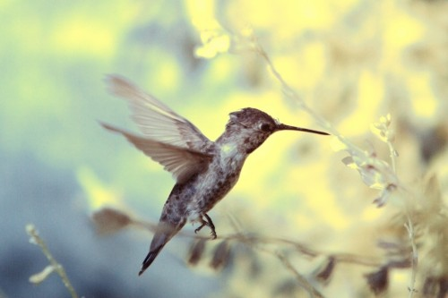 Hummingbird - Infrared