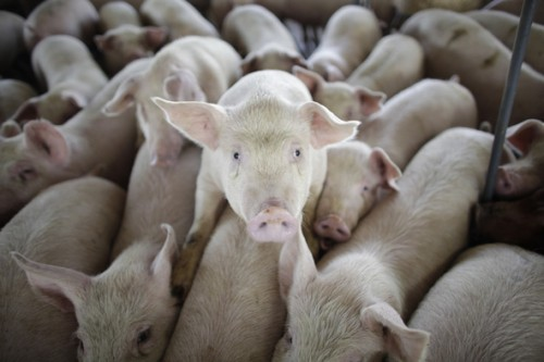 pigs_591
