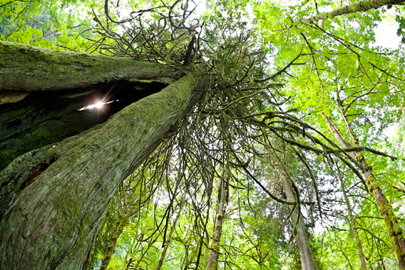Sun-shining through a crack in an ancient red cedar in Goldstream Provincial Park. Watt says: 'Some days you are just in the right place at the right time. This was one of those days.' Photo by: T.J. Watt, Utopia Photo.