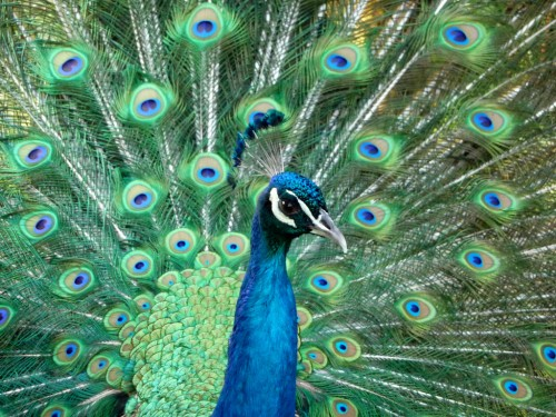 Male Peacock With Feathers In Full Strut