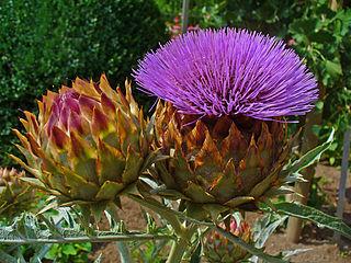 artichoke plant with flower