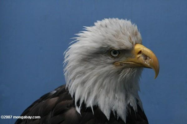 Bald eagle. Photo by: Rhett A. Butler.