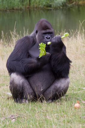 GorillaEating