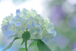 White_and_lilac_hydrangeas