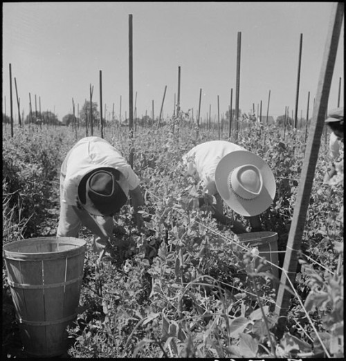 Farmworkers picking peas