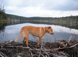 How to disassemble a beaver dam