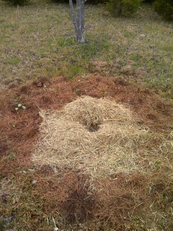 Blueberry bushes like acid soil, so I planted this one in a cedar tree grove and mulched it with needles and straw