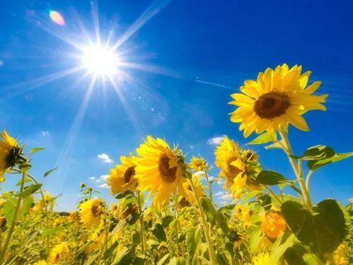 Sun high over sunflowers