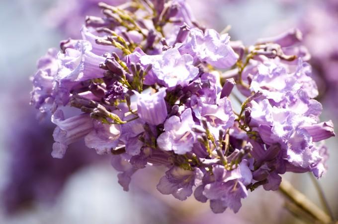 jacaranda_flowers