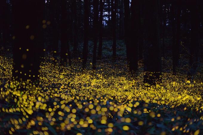fireflies Yuki Saro