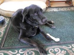 Kobi the black senior dog