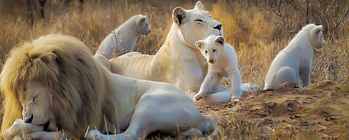white lions linda tucker