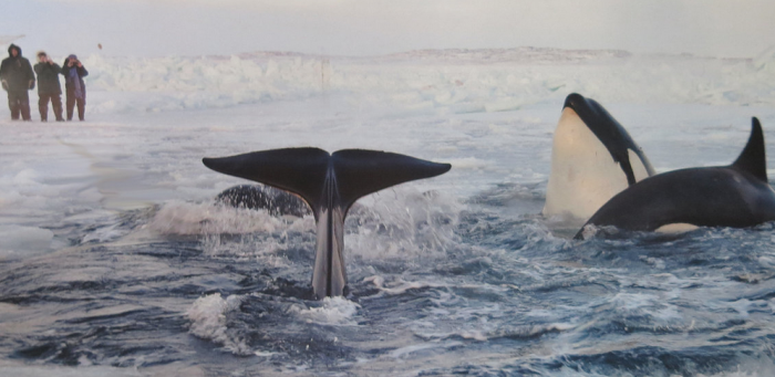 whale tale arctic image