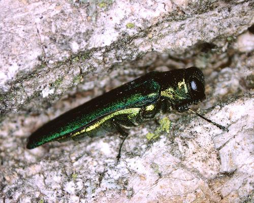 emerald ash borer 2
