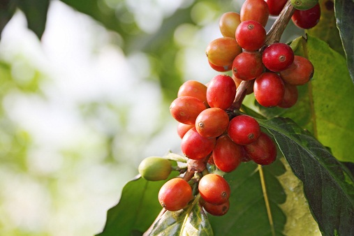 decaf methods coffee cherry image