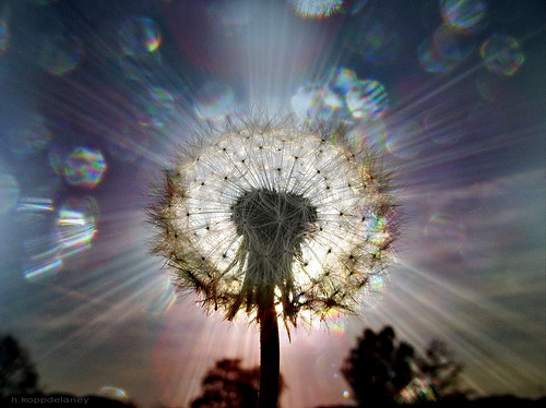 Dandelion Seeds of Light
