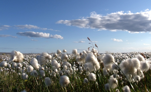 cotton-field-sky-clouds