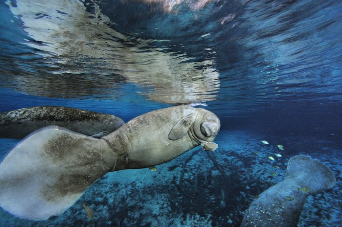Sirenian flipper wave, by Brian Skerry.