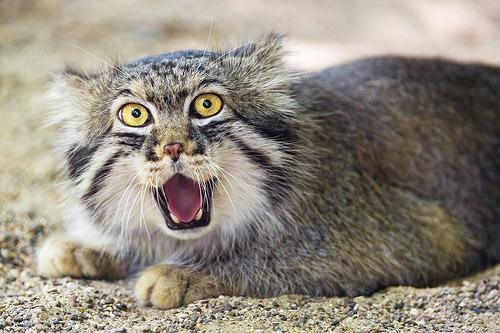 Bad Cat Face