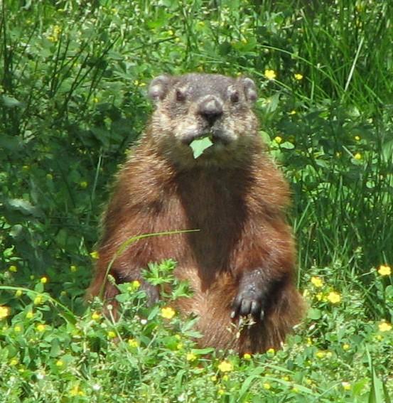 Groundhog_eating
