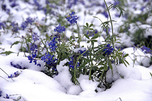 bluebonnets snow spring flowers