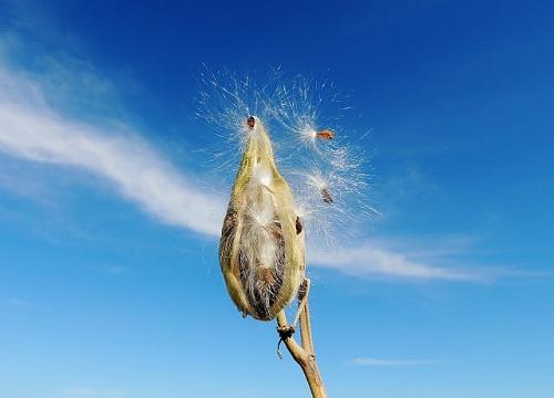 seeds sky dandilion