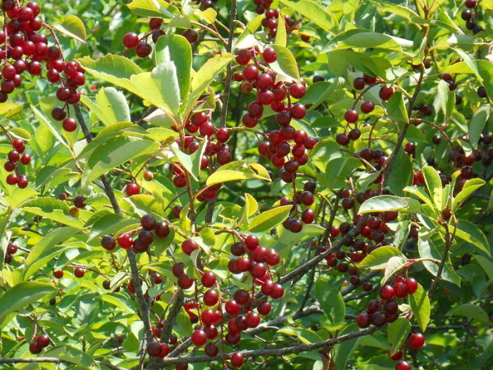Black_cherry_1