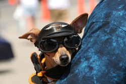 800px-Dog_at_Myrtle_Beach_Bike_Week_Doggles_and_Harley-Davidson_cap