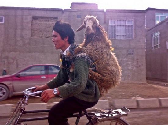 Traveling Sheep