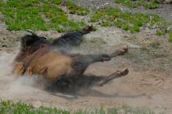buffalo rolling