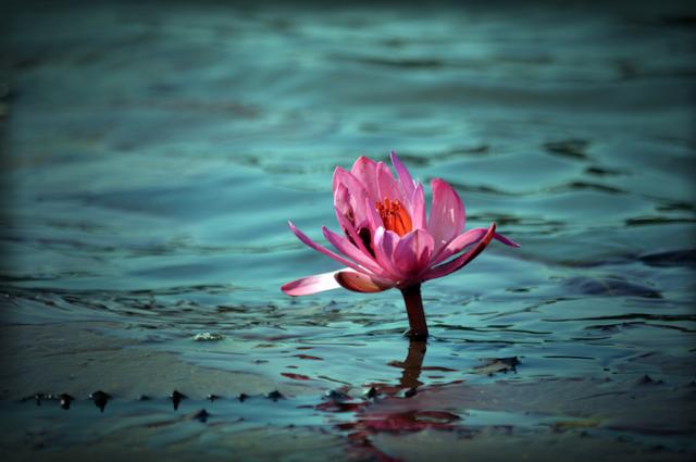 lotus mud flower water bloom