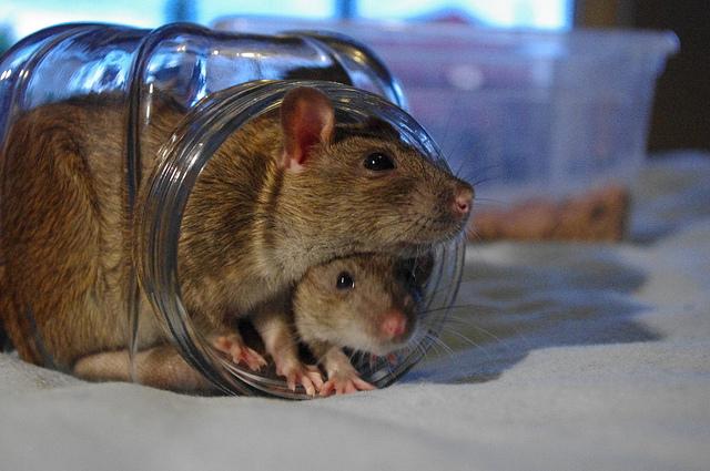 rats pets animals