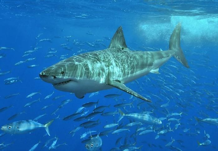 photo: http://commons.wikimedia.org/wiki/File:White_shark.jpg
