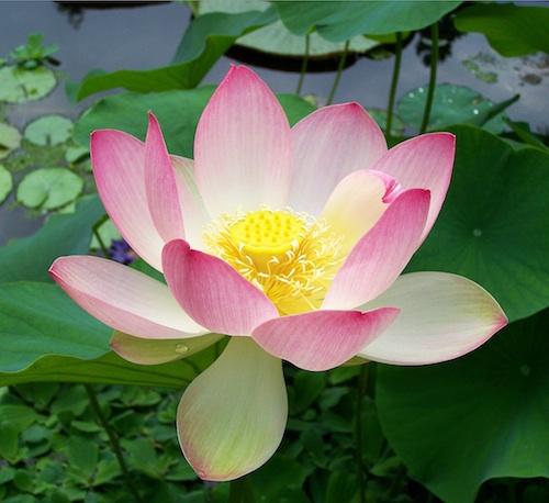 Sacred_lotus_Nelumbo_nucifera-1