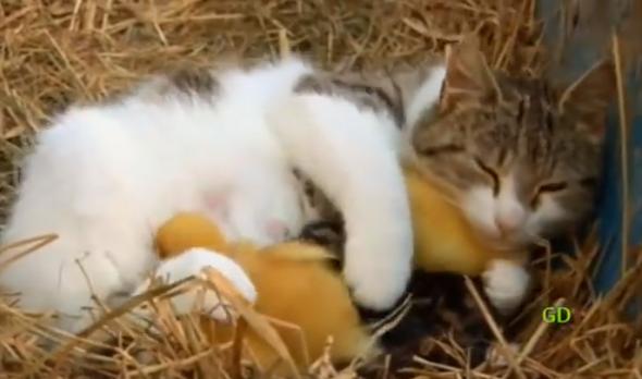 Cat Cuddles Ducklings