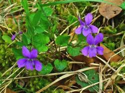 violet plant weed
